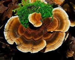 turkey-tail-mushroom-image