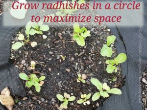 Growing Radishes With Limited Space