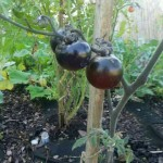 indigo-rose-tomatoes-healyounaturally