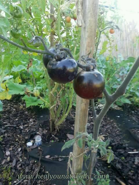 indigo-rose-tomatoes-healyounaturally