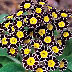 Bumble-Bee-Primrose