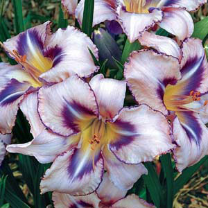 Destined-To-See-Daylily