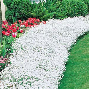 Snow-in-summer Perennial