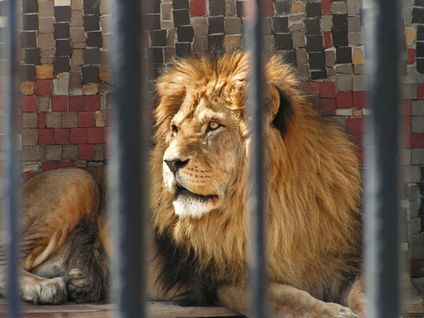 circus-lion-freed-feels-earth-in-his-paws-first-time