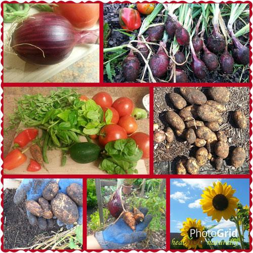 Last Summer Harvest 2015 Organic Gardening