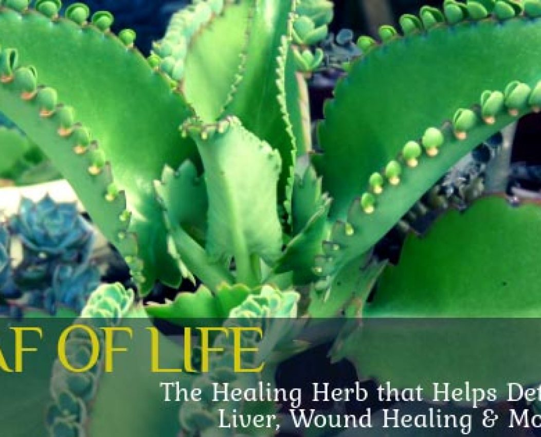 Leaf of Life: The Healing Herb that Helps Detox the Liver, Wound Healing & More