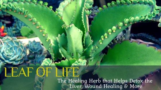 leaf of life health benefits